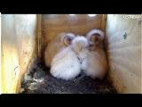 Птенцы совы сипухи мило спят :)